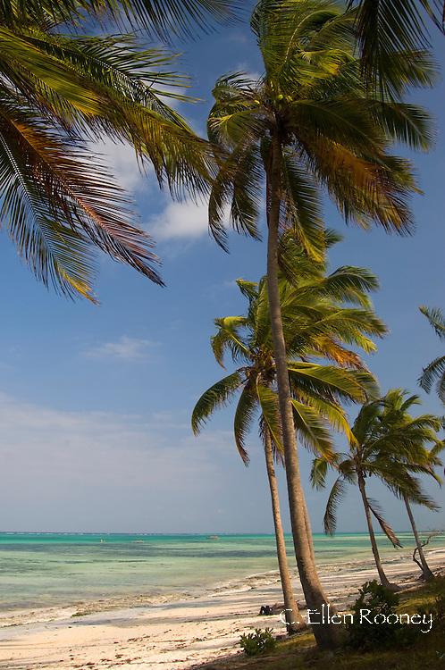Palm trees above emerald sea. Pingwe Beach, Zanzibar, Tanzania