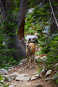 Multe deer Amphitheatre Lake Trail, at Grand Teton National Park, Wyoming