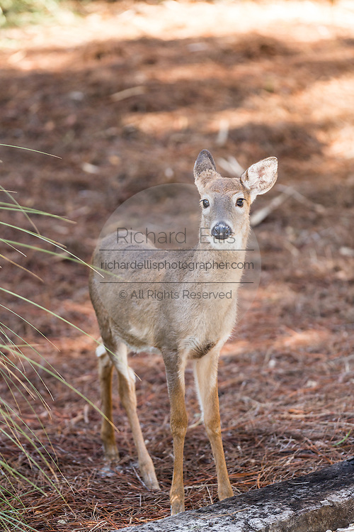 A fearless baby deer roams around the yard of a private home on Fripp Island, SC.