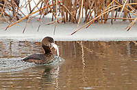 This Pied Billed Grebe fishes in the open water of a frozen river and caught its prize a small catfish!