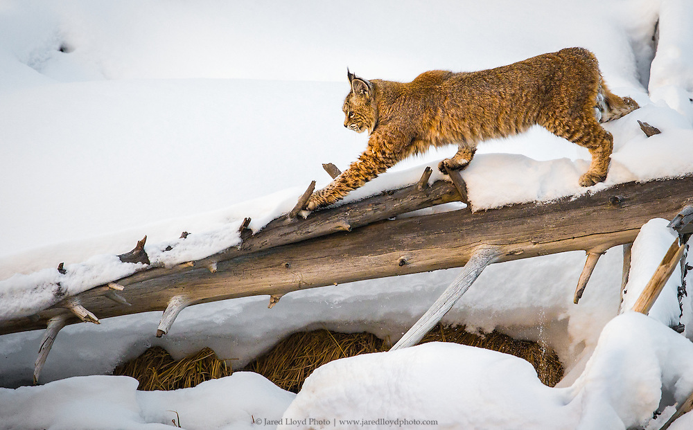 a bobcat strides across a snow covered downed tree along the banks of the Madison river in Yellowstone