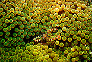 UNDERWATER MARINE LIFE CARIBBEAN, generic Cleaner shrimp Periclimenes yucatanicus