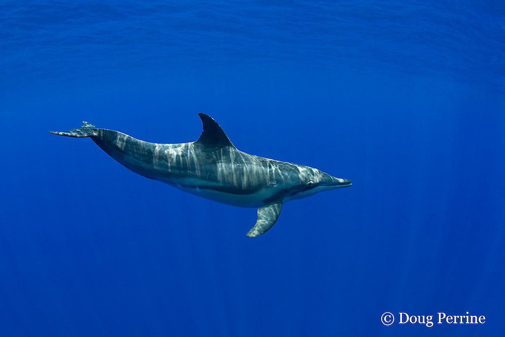 rough-toothed dolphin, Steno bredanensis, Kona, Hawaii ( Central Pacific Ocean ) (dm)