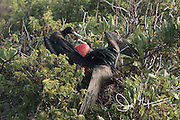 A Great male frigatebird sits with a female that it just attracted with its inflated gular sack on Genovesa island, Galapagos.