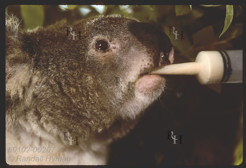 Injured koala drinks baby formula from syringe @ U of Queensland koala rehab center in Brisbane. Australia