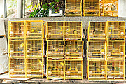 Chinese songbirds in bamboo cages on sale at the Yuen Po Street Bird Garden in Mong Kok, Kowloon, Hong Kong.