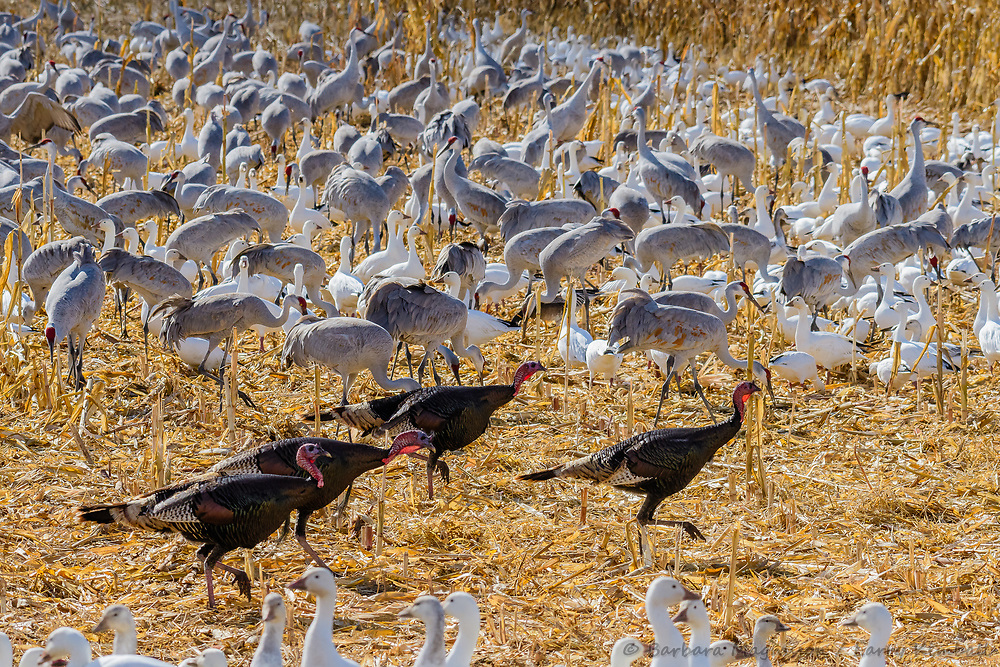 Rio Grande Turkey [Meleagris gallopavo intermedia] flock of toms cut a path through Sandhill Cranes and Snow Geese feeding in cut corn field; Bosque del Apache NWR., NM