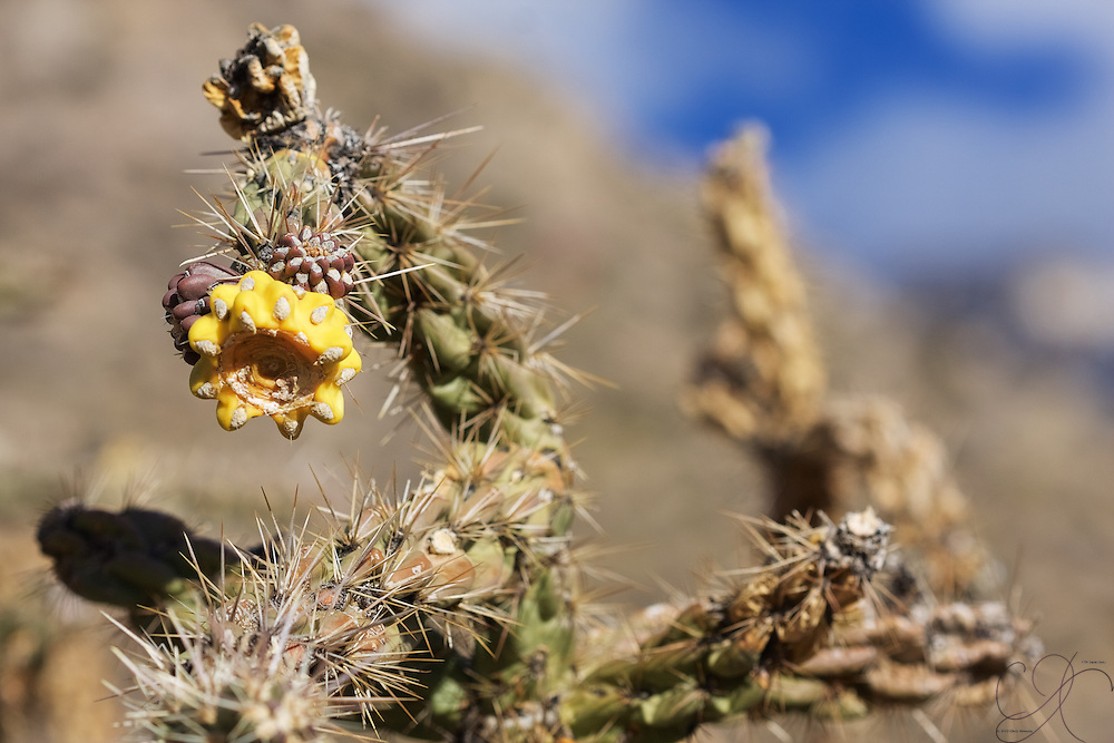 Winter in the high desert - cactus flowers hang on until the end