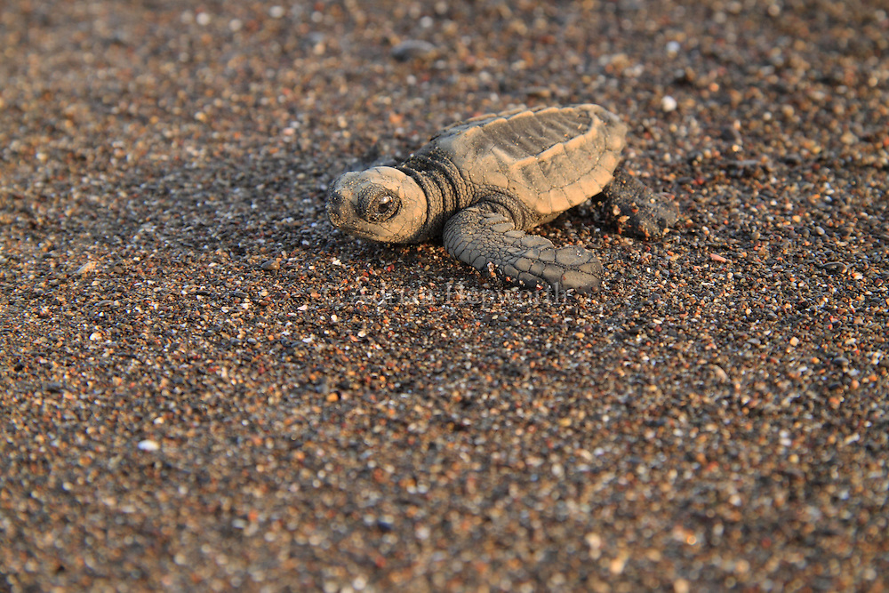 Olive Ridley Turtle hatchling (Lepidochelys olivacea) walking over sand to ocean in Ostional Wildlife Refuge, Costa Rica.<br />
