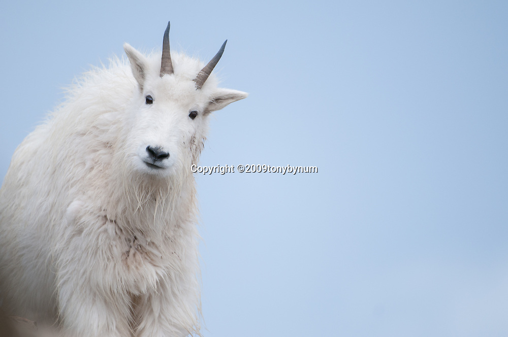 mountain goat on cliff with big sky and clouds