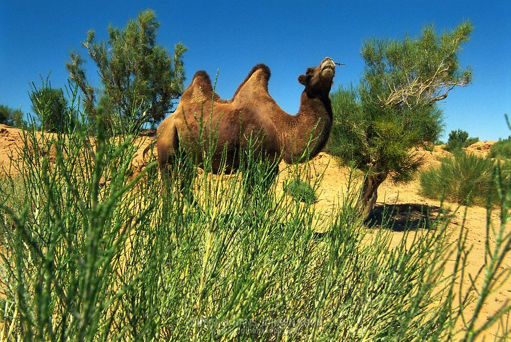 Mongolei, MNG, 2003: Kamel (Camelus bactrianus) im geschützen Saxaul-Wald in der südlichen Gobi. Die Saxaul-Pflanze wächst sehr langsam und bildet ein großes Netz von Wurzeln, die wichtig für den Schutz vor Winderosion sind. Das Holz des Saxaul-Waldes ist so dicht und schwer, das es bis zum Grundwasser sinkt. Kamele dient die Pflanze als Nahrung. | Mongolia, MNG, 2003: Camel, Camelus bactrianus, in the protected Saxaul-forrest, Saxaul plants growing very slowly, building a big branching net of roots which is important against the wind erosion. The wood of the Saxaul-forrest is so dense and heavy that it sinks in the water, camels feeding on this wood,  South Gobi. |