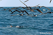 frigate birds, Fregata sp., hover over a bait ball of Spanish sardines (aka gilt sardine, pilchard, or round sardinella ), Sardinella aurita, under attack by an Atlantic sailfish, Istiophorus albicans, off the Yucatan Peninsula, Mexico ( Caribbean Sea )