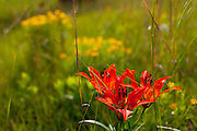 ICF_Prairie.-Wood Lily (Lillium philadelphicum).  The International Crane Foundation's (ICF) mission is to conserve cranes and the ecosystems, or landscapes, on which they depend. In 1980 ICF began restoring native prairie, savanna, wetland, and woodland communities on the newly acquired 160 acre property north of Baraboo, Wisconsin.  The site now serves as an outdoor laboratory with over 100 acres of restored landscapes alongside another 60 acres of natural landscape, where the process of restoration can be explored and the lessons applied worldwide.