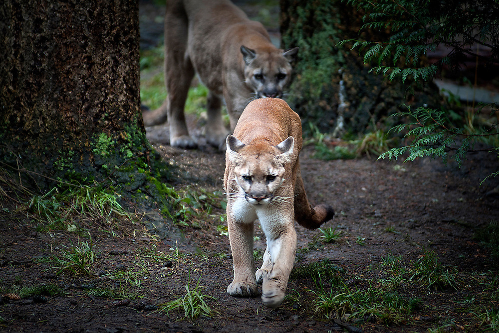 Mountain Lion, Cougar, family Felidae, Puma, Panther, Felis concolor
