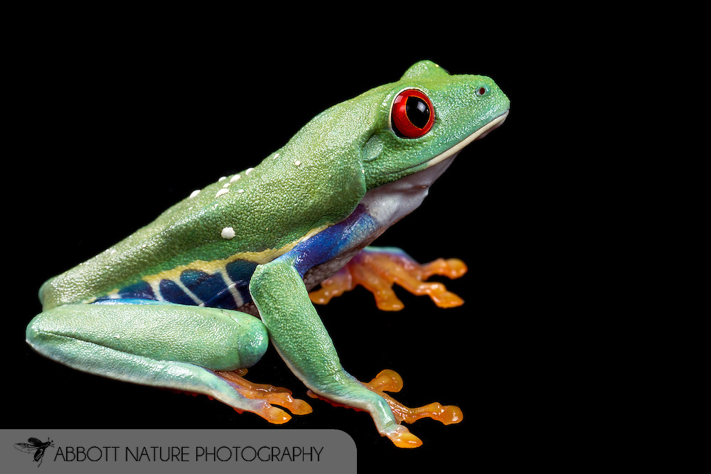 Red Eyed Tree Frog (Agalychnis callidryas)<br /> TEXAS: Williamson Co.<br /> Captive bred<br /> J.C. Abbott &amp; K.K. Abbott