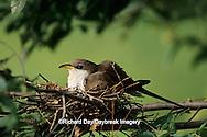 01099-00208 Yellow-billed cuckoo (Coccyzus americanus) adult at nest   IL