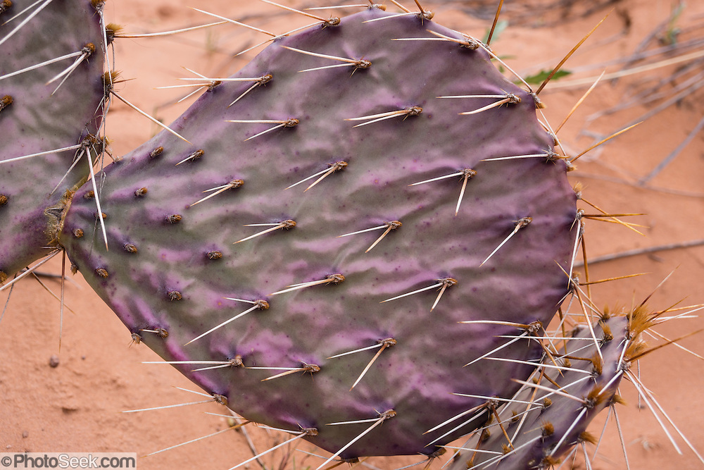 Green and purple-tinged prickly pear cactus / Opuntia genus forms a thorny pattern. Hike Negro Bill Canyon, on BLM federal land near Moab, Utah, USA.