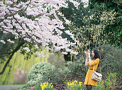 © Licensed to London News Pictures. 19/03/2014. London, UK. A girl photographs cherry blossom. People enjoy the sunshine at Regents Park today 19th March 2014. Photo credit : Stephen Simpson/LNP