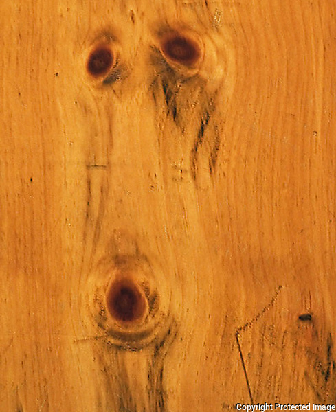 Face of a Collier Dog in the pumpkin wood floor in an Adirondacks