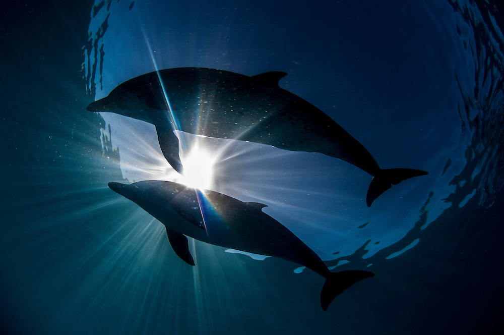 Spotted dolphins off Bimini, Bahamas.