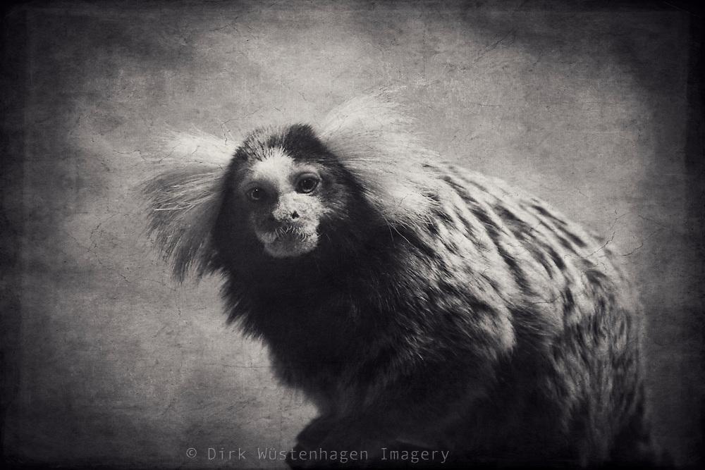 Portraait of a little monkey - vintage style-<br /> <br /> Prints: http://society6.com/DirkWuestenhagenImagery/little-prisoner_Print