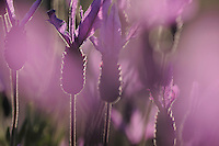 French or Spanish lavender (Lavandula stoechas), Monfrague National Park, Extremadura, Spain