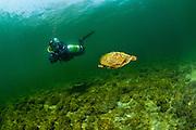 Un plongeur observe des tortues géographiques, une espèce en péril au Canada. Fleuve Saint-Laurent, Ontario, Canada. | Diver observing goegraphic turtles, a species at risk  in Canada. St-Lawrence River, Ontario, Canada.