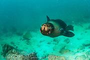 Galapagos Sea Lion, Zalophus wollebaeki, play in the shallows of the Galapagos Islands, Ecuador.