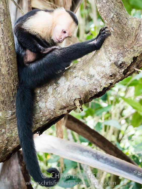 White-headed Capuchin (Cebus capucinus) at Manuel Antonio National Park, Costa Rica.