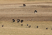 Several Wild Turkey Gobblers display for hens in a stubble field
