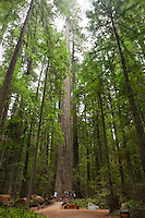 The Founder's Tree, Humboldt Redwoods State Park, California