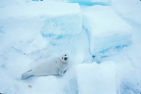 Harp Seal, (Pagophilus groenlandicus) White coat pup rests among ice formations on ice pack.Spring. Nova Scotia. Canada.