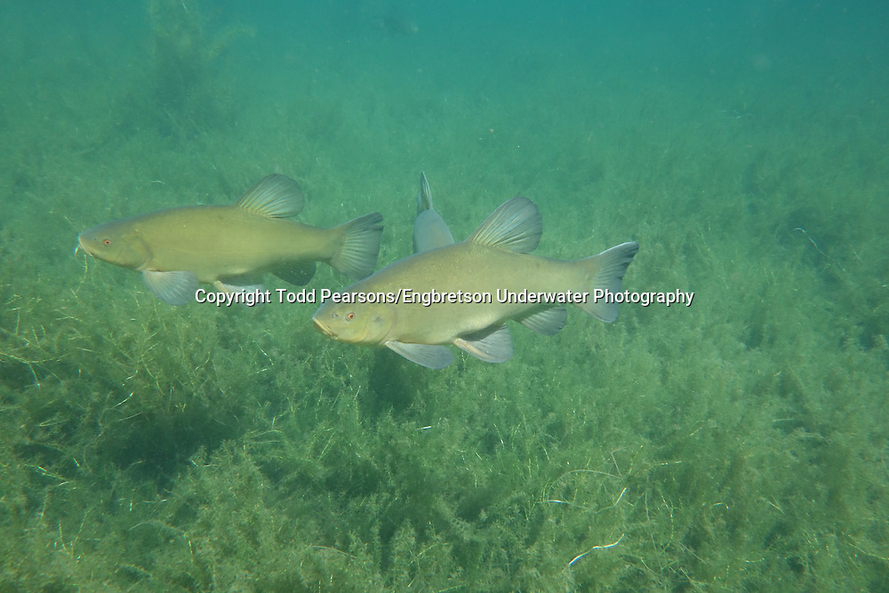 Tench<br />