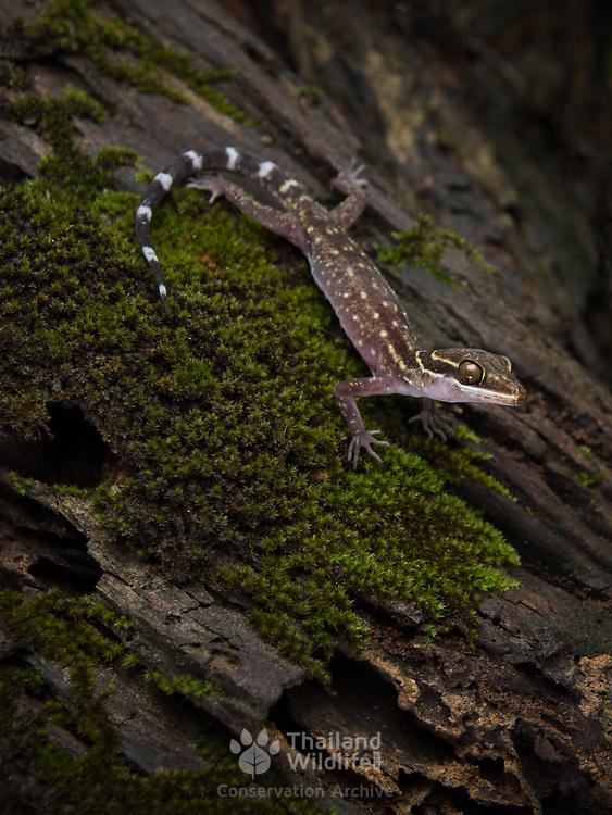 Phetchaburi bent-toed gecko (Cyrtodactylus phetchaburiensis) in Kaeng krachan national park, Thailand