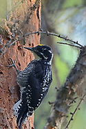 American three-toed woodpecker foraging for insects in a second growth western larch and lodgepole pine forest that has many dead snags from bear-girdled trees. Yaak Valley in the Purcell Mountains, northwest Montana.