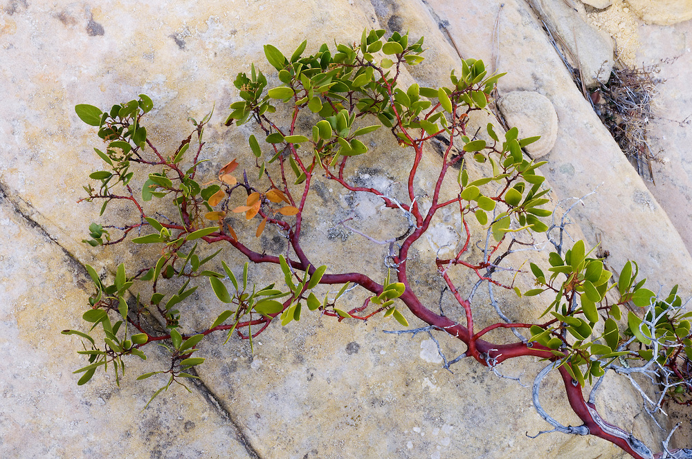 Manzanita growing over sandstone, Zion National Park