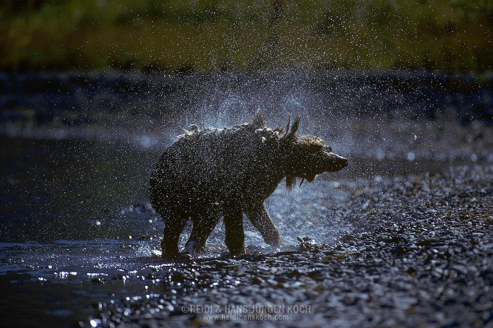 USA, Vereinigte Staaten Von Amerika: Alaskabraunbär (Ursus arctos middendorffi), Kodiakbär schüttelt sich das Wasser aus seinem nassen Fell nach dem Fischfang im Fluss, Kodiak National Wildlife Refuge, Kodiak Island, Alaska | USA, United States Of America: Brown bear (Ursus arctos middendorffi), Kodiak bear shaking out the water of it's wet fur after fishing in a river, Kodiak National Wildlife Refuge, Kodiak Island, Alaska |