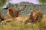 Male lion shows anger at cub who woke him up, Serengeti National Park Tanzania