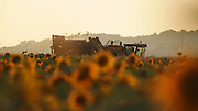 Sunflower field with corn harvest in the background
