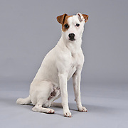 Noble Jack Russell Terrier seated and looking at the camera.