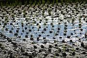 rice paddy, Historic Villages of Shirakawa-go and Gokayama UNESCO site in Japan