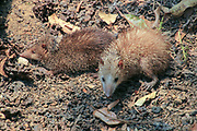 Malagasy giant jumping rat (Hypogeomys antimena). It is omnivorous, but forages on the forest floor mainly for fruit, nuts, seeds, and leaves. It is endemic to specific areas of Madagascar. Photographed in the Kirindy Deciduous Forest, Western Madagascar.