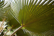 Dianella sandwicensis, Xanthorrhoeaceae, Uki Uki, indigenous to Hawaii