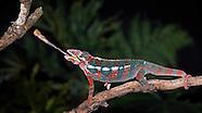 Cameo Chameleon
