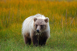 North American brown bear / coastal grizzly bear (Ursus arctos horribilis) cub eats grass in a field, Lake Clark National Park, Alaska, United States of America