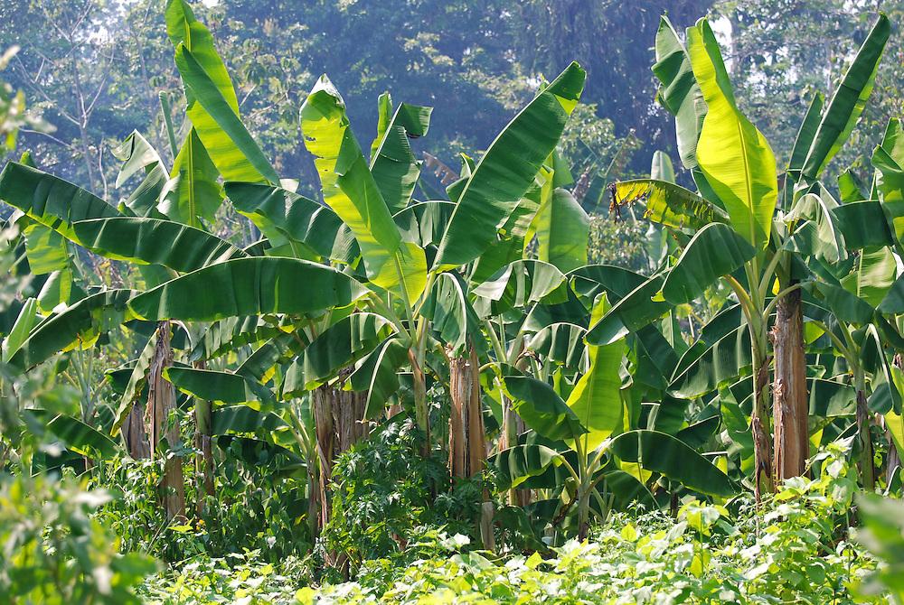 Plantación de Cambur en la selva de Birongo, Edo. Miranda. Venezuela