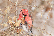 White-winged Crossbill, Loxia leucoptera, male, feeding on Tamarack seeds, Livingston County, Michigan