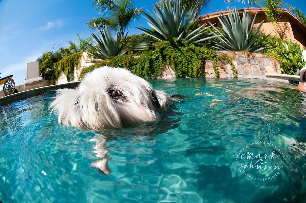 Shitzu purebred dog in swimming pool
