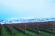 Winter Walla Walla Vineyard with Blue mountains
