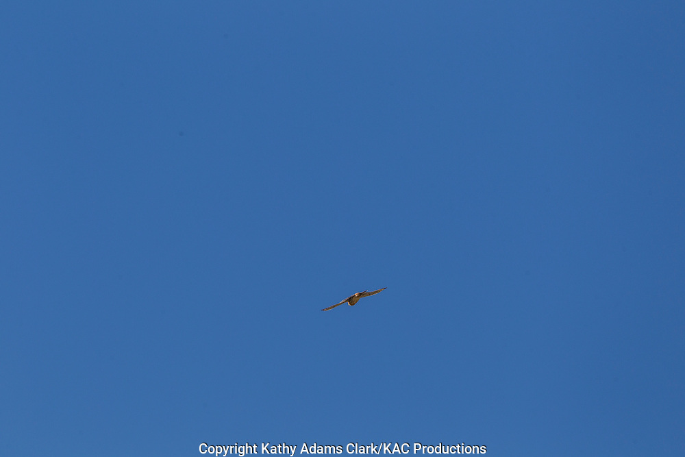 Peregrine falcon, Big Bend National Park, Chihuahuan Desert, west Texas